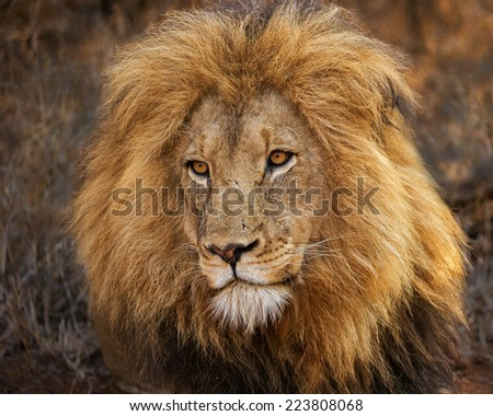 magnificent lion - stock photo