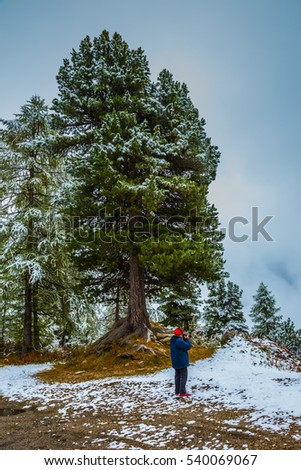 Magnificent pine covered with the first snow. Dolomites in Northern Italy. Alpine Pass Giau. Elderly woman in a jacket and hat photographing landscape