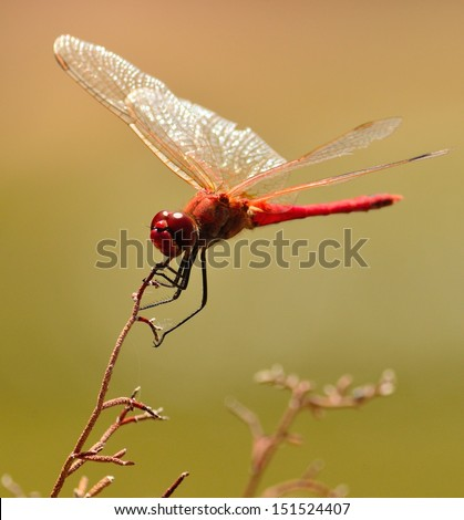 Magnificent red dragonfly crocothemis erythraea with its splendid wings maintaining the balance on a fine branch, on fuzzy natural background