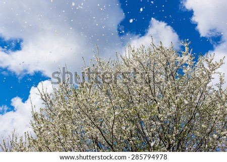 Magnificent scene of cherry-plum blossoms flower petals floating and blown in a spring breeze. Focus is the floating petals and not the tree - stock photo