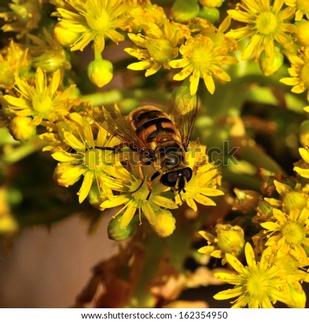 Magnificent worker bee on a splendid plant of aeonium undulatum sucking the  exquisite nectar of its aromatic and small yellow flowers, natural wildflowers of canary islands