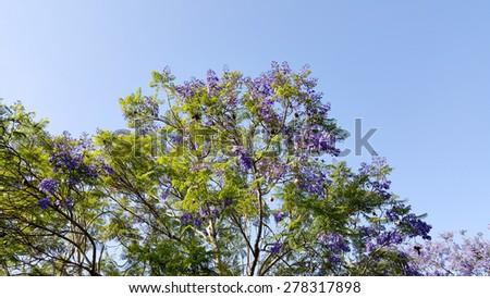 Magnificently profuse flowering Jacaranda tree - stock photo