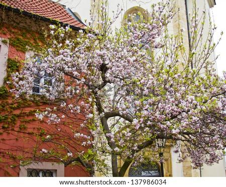 Magnolia at Strahov Monastery - stock photo