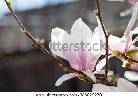 Magnolia - beautiful flowers with details
