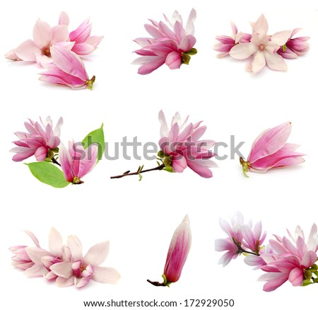 Magnolia blooming - stock photo