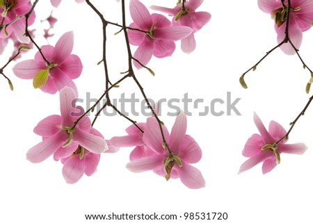 Magnolia Blooms - stock photo