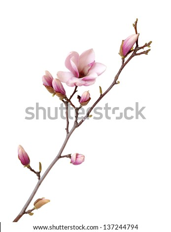 magnolia branch isolated on white - stock photo