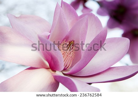Magnolia bud abstract close up - stock photo