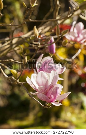 Magnolia, Cute pink Magnolia first bloom fresh blossom in the forest - stock photo