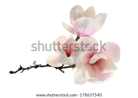 magnolia decoration  - stock photo