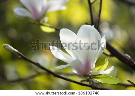 Magnolia denudata flower in a garden at spring - stock photo