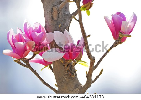 Magnolia flower blooming