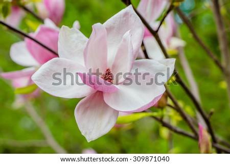 magnolia flower,bouquet of magnolia - stock photo