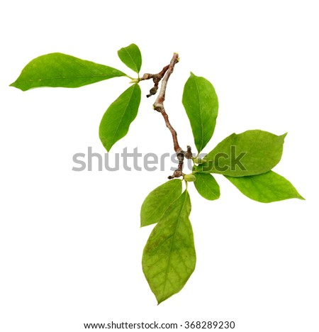 magnolia flower branch isolated on white background  - stock photo