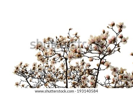 Magnolia flower Isolated on White Background. - stock photo