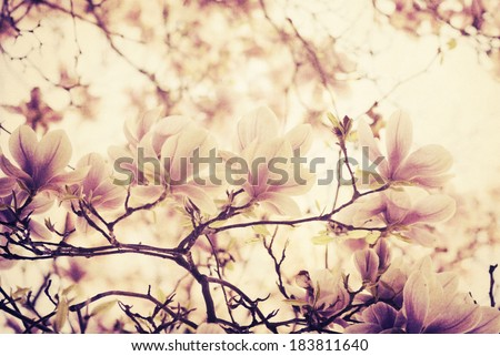 magnolia flower on textured background. retro filter. - stock photo