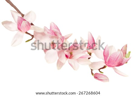 Magnolia flower, spring branch isolated on white, clipping path included - stock photo