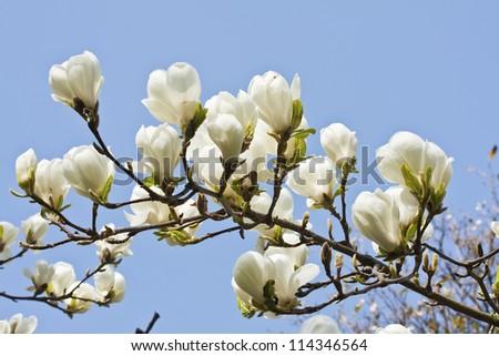 Magnolia flowers against blue sky background in Edinburgh Royal Botanical Garden - stock photo