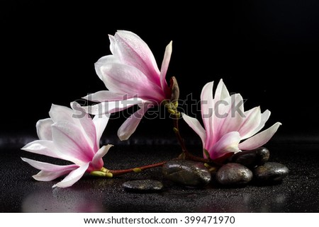 Magnolia Flowers and zen stones on the black background - stock photo