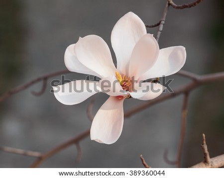 Magnolia flowers. Blooming magnolia tree in the spring, soft nature background - stock photo