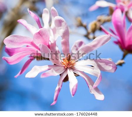 Magnolia flowers, blue sky - stock photo