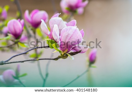 Magnolia flowers in sunlight with  soft nature background - stock photo