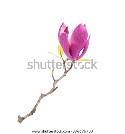 magnolia flowers isolated on white background - stock photo