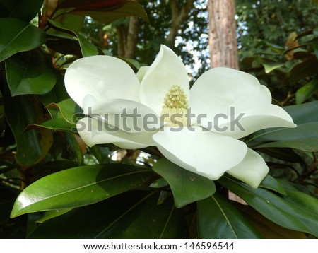 Magnolia Grandiflora aka Bullbay or Southern Magnolia, with fully developed fruit - stock photo