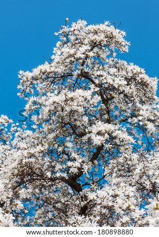 Magnolia kobus. Blooming tree with white flowers