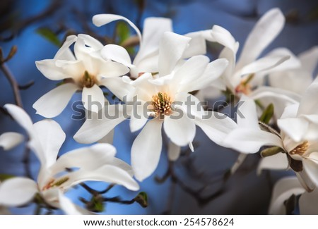 Magnolia kobus. Blooming tree with white flowers - stock photo