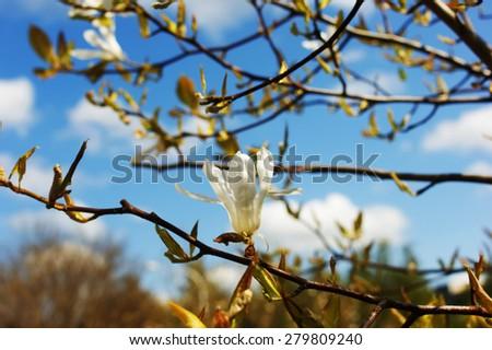 Magnolia kobus. White flowers - stock photo