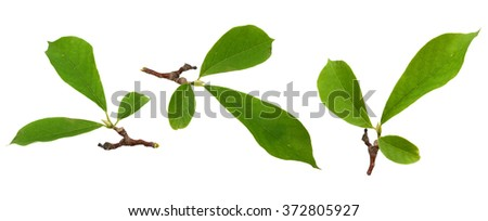 Magnolia leaf isolated on a white background