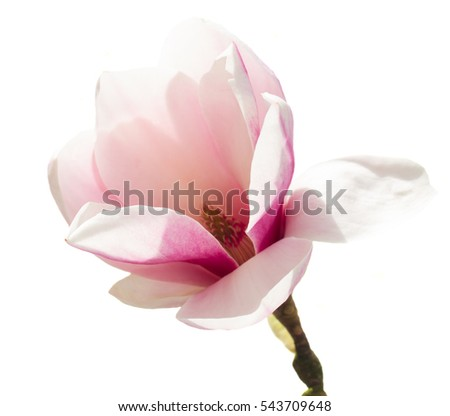 Magnolia pink growing flower isolated on white background