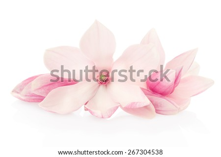 Magnolia, pink spring flowers and buds group isolated on white, clipping path included