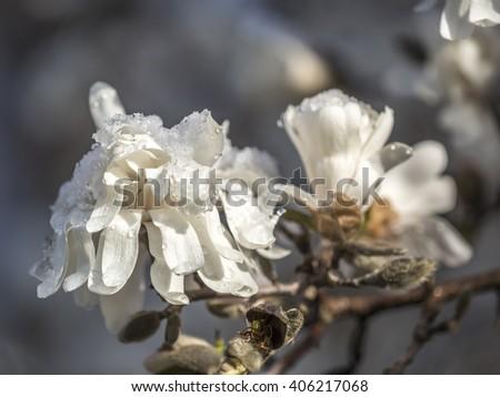 Magnolia soulangeana,saucer magnolia in spring in Central Park - stock photo