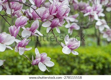Magnolia Ã?Â?? soulangeana (saucer magnolia) is a hybrid plant in the genus Magnolia and family Magnoliaceae - stock photo