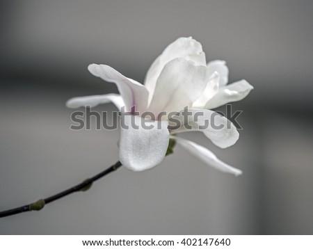 Magnolia soulangeana,saucer magnolia is a hybrid plant in the genus Magnolia and family Magnoliaceae - stock photo