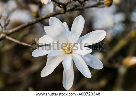 Magnolia stellata flower  - stock photo
