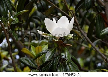 Magnolia Tree Flower - stock photo