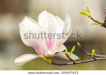 Magnolia Tree Flower Blossom In Spring