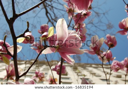 Magnolia tree flower close up with buildings - stock photo