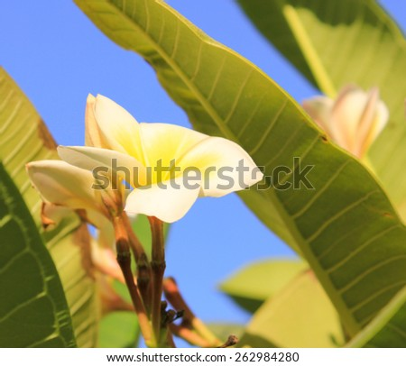 Magnolia tree flower.  Tree of a blossoming magnolia. Blown beautiful magnolia flowers on a tree with green leaves. - stock photo