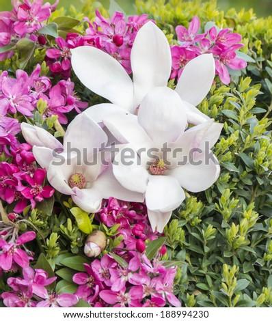 magnolia tree flowers in April - stock photo