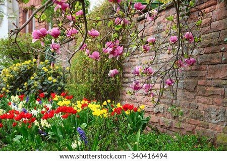 Magnolia tree growing near the stone wall above the flowerbed in city garden - stock photo