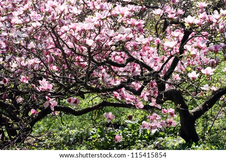 Magnolia tree in bloom. Many tender flowers. - stock photo
