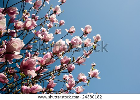 Magnolia x soulangiana - Saucer Magnolia.  Many branches come from left frame of a Saucer Magnolia standing out with pink and purple flowers against a rich blue gradient sky. - stock photo