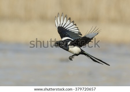 Magpie in flight - ekster - pica pica