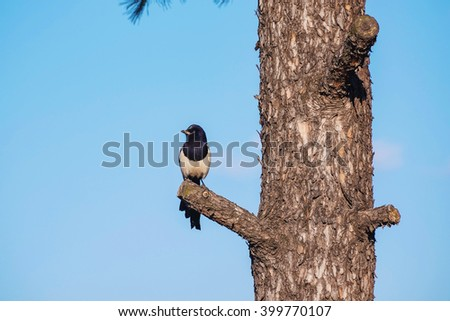 Magpie perched on a tree with blue sky outdoors