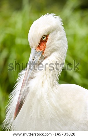 Maguari Stork's head closeup with nice green background