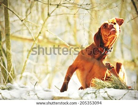 magyar viszla dog puppy scratched outdoors - stock photo